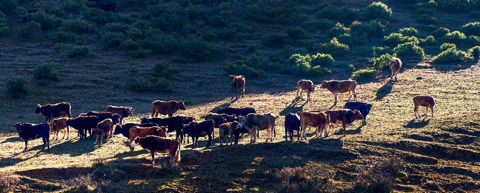 《山坡上的牛群》布拖托觉乡------许清泉.jpg